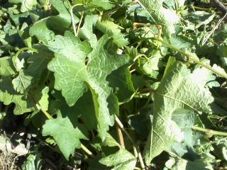 leaf of stump