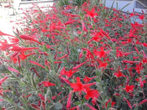 CA Fuchsia
