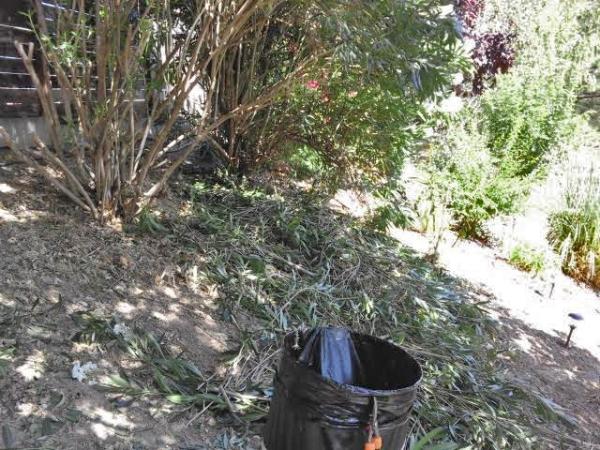 the oleanders